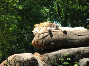 Lion Asleep on Rock