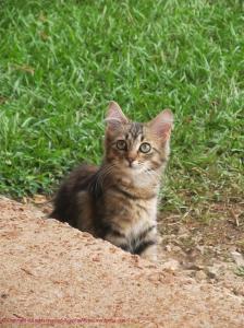 Fluffy Kitten Cat