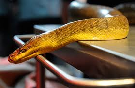 Snake on table