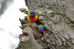 Rainbow Lorikeets Copyright HaikuHouse.WordPress.Com