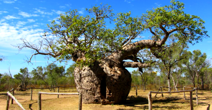 Adansonia gregorii or boab tree, Ronovan Writes