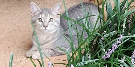 Image of Stormy, a young gray female catt with darker gray stripes and yellow eyes.